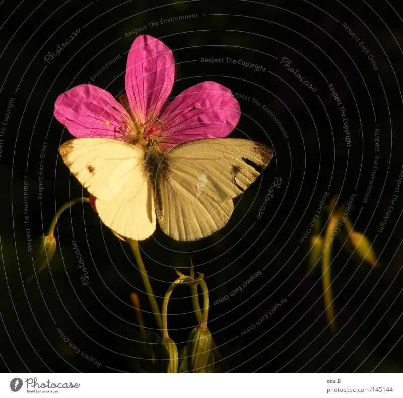 augenfalter Schmetterling Blüte Blütenblatt Pflanze Pause Erholung Muster Fühler Flugbahn Insekt Fluginsekt Lebewesen Tier Tarnung Flügel flattern fein Färbung