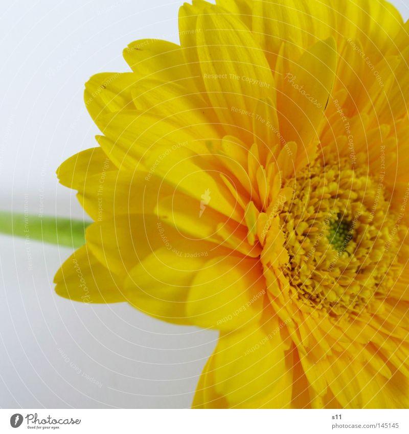 Germini Natur Blume Pflanze Sommer gelb Blüte hell Stengel Mitte Blumenstrauß Blütenblatt Gerbera Blumenhändler Kranz Blumenladen