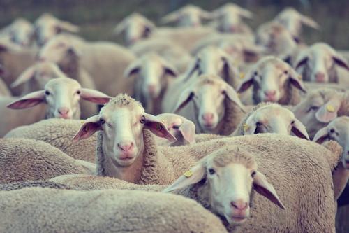 Amelie and her girlfriends Nutztier Schaf Schafherde Schaffell Altokumulus floccus Einschlafhilfe Schafezählen Mäharbeiten beobachten Beratung Blick stehen