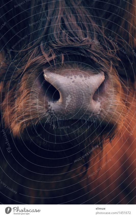 Friseurtermin verpasst Kuh Highlander Schottisches Hochlandrind Flotzmaul Maul Kommunizieren glänzend natürlich Sauberkeit braun Zufriedenheit schön
