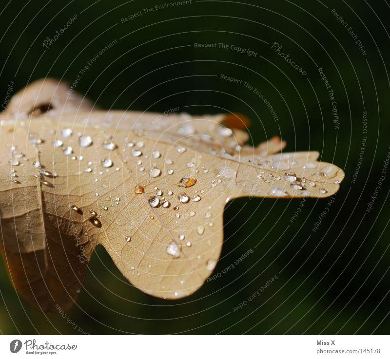 der schöne Tag Wasser grün Blatt Herbst braun Regen Wassertropfen Tropfen Gewitter Gefäße schlechtes Wetter Eiche Eichenblatt