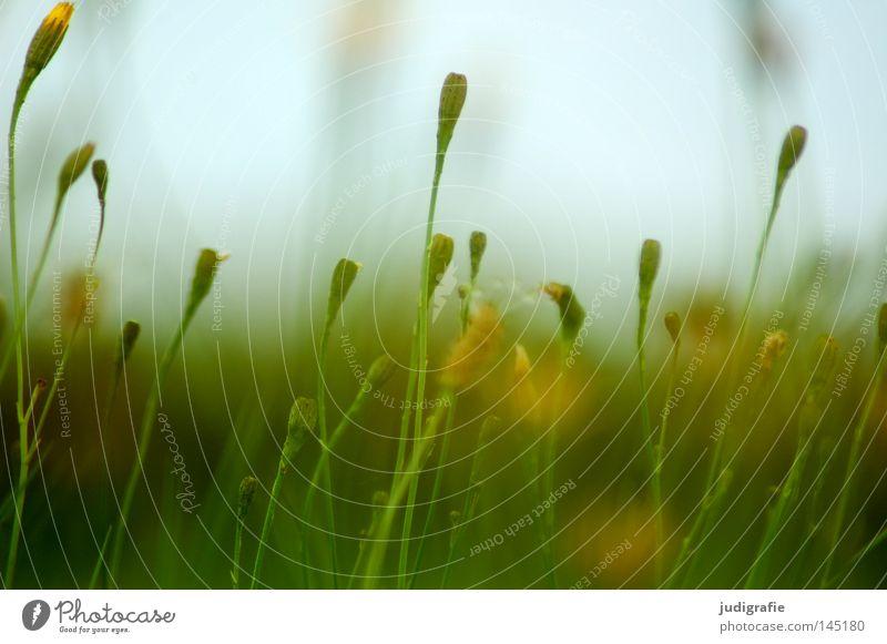 Wiese Gras Blume Blütenknospen Natur Himmel Sommer Physik Wachstum gedeihen Umwelt Pflanze zart fein grün Farbe Wärme blau Außenaufnahme