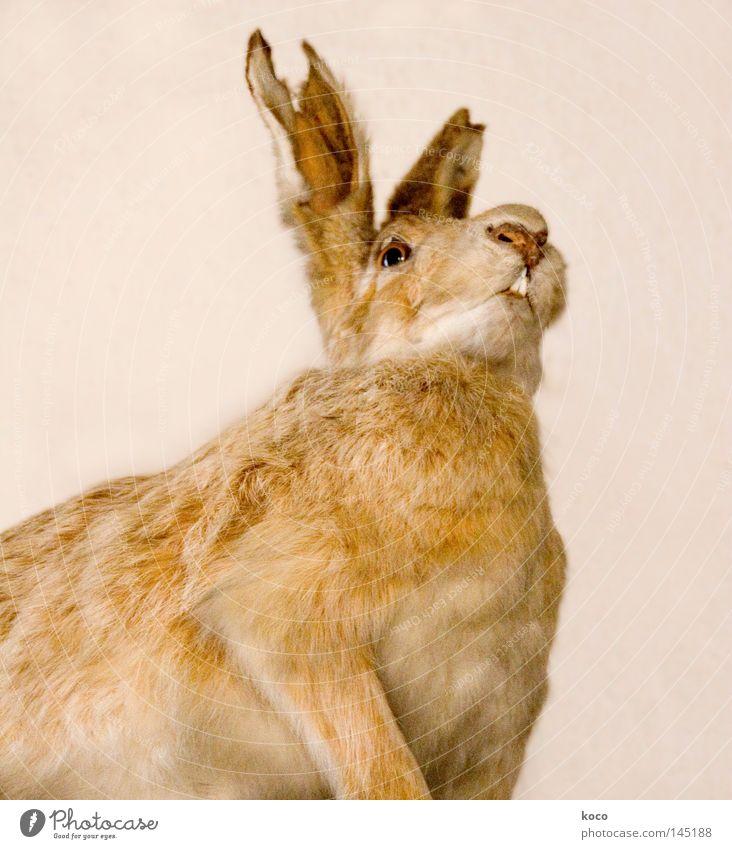 Hasenohr Hase & Kaninchen Fell kaputt braun Säugetier Vergänglichkeit Museum Tod Ohr Blick Osterhase