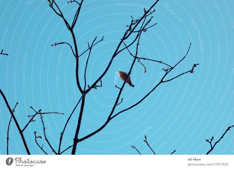 von unten Natur Tier Luft Himmel Wolkenloser Himmel Winter Baum Vogel 1 beobachten oben blau Fernweh ruhig Grafik u. Illustration Gegenlicht Strukturen & Formen