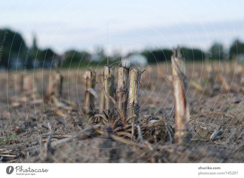 Mähdrescher Getreide Landschaft Pflanze Erde Himmel Horizont Herbst Gras Feld grau Darmstadt Deutschland Wurzel Wurzelgemüse Ernte September Maispflanzen