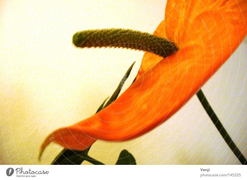 eindeutig! Blume Pflanze Stengel Blüte grün Vergänglichkeit Natur orange Phallus-Symbol retro Stehvermögen Phallussymbol