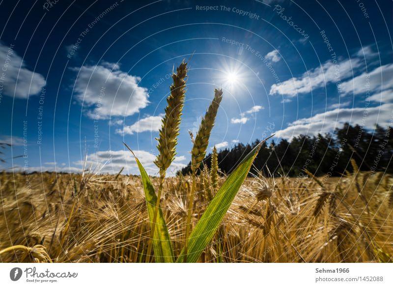 Besonderes Licht über einem Getreidefeld, Ähren im letzten Licht Himmel Natur Pflanze Sommer Sonne Blume Landschaft Wolken Freude Umwelt Wiese Gras Glück Wetter Feld Sträucher