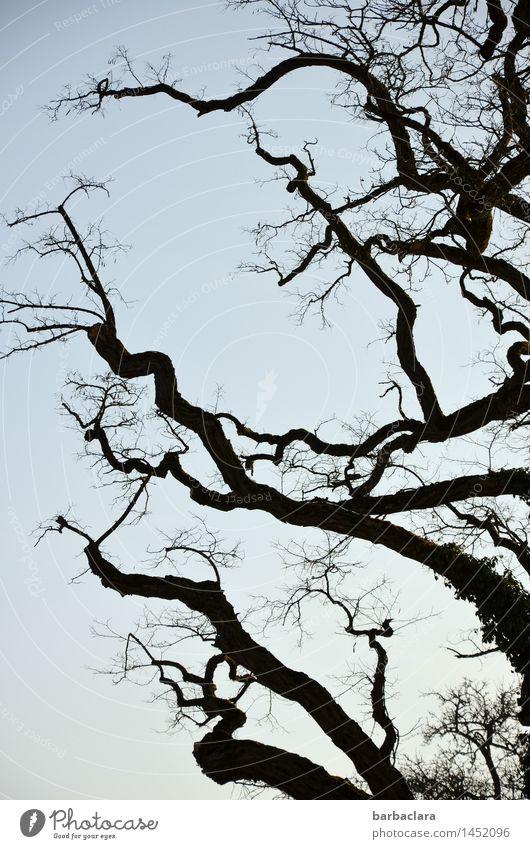 Robinie fährt ihre Krallen aus Natur Pflanze Himmel Winter Baum Äste und Zweige Park Linie blau schwarz Stimmung bizarr Klima Umwelt Wandel & Veränderung