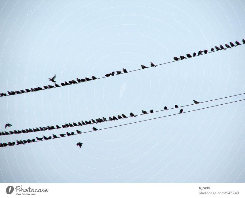 Vögel auf der Leitung Vogel Hochspannungsleitung Elektrizität Vogelschwarm Sommerabend Zugvogel Abheben Linie Himmel Herbst Bird Electric cables Line Sky