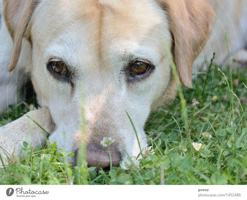 Labrador Hund Natur grün Sommer Tier Umwelt gelb Frühling Wiese Auge Kopf Nutztier Labrador
