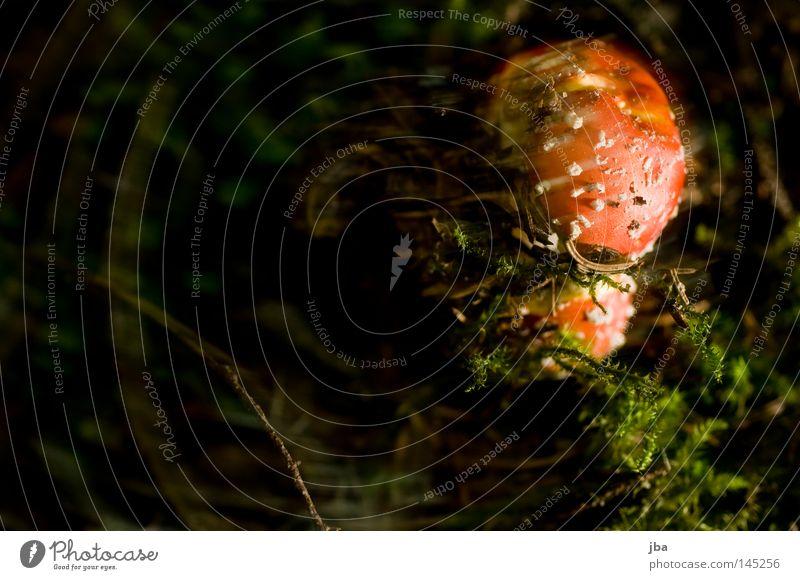 Fliegenpilz jr. Natur grün Herbst klein braun Wachstum frisch Suche Punkt Pilz Moos Fleck Gift unklar verborgen ungesund