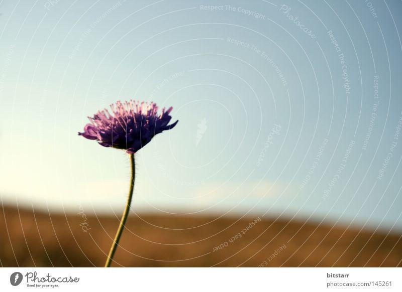 blume namenlos Blume Blüte violett Stengel Natur Pollen organisch Pflanze grün Wiese wild Romantik Sonnenuntergang Sommer Rügen Hügel Horizont Himmel blau hell