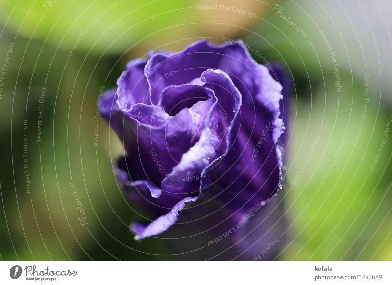 Hibiscus Knospe Natur Pflanze Sommer Blume Sträucher Blüte Topfpflanze Hibiskus Knospe Blühend Duft Freundlichkeit nah blau grün violett elegant Farbe Stimmung