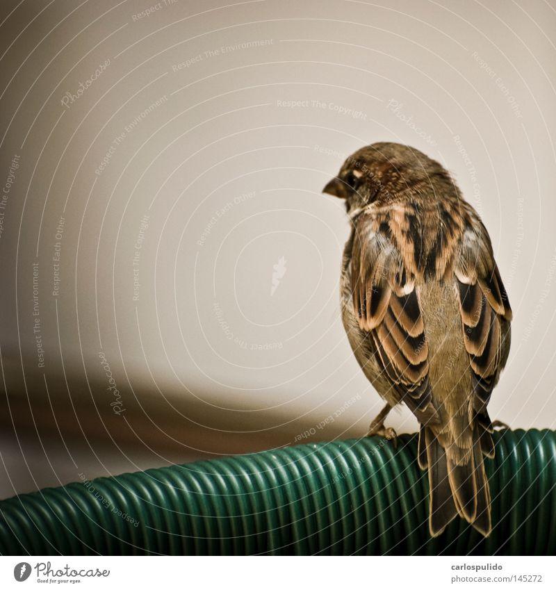 Natur Tier Vogel frei Feder Flügel Medien Spatz