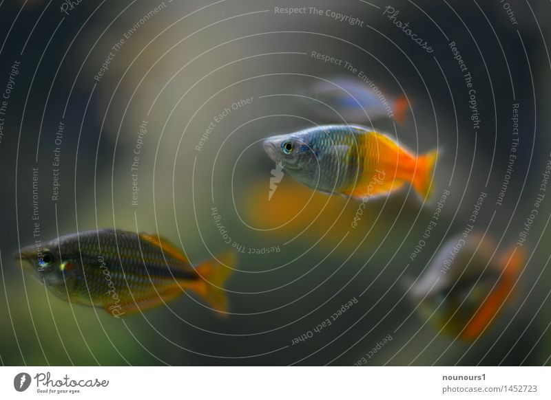 zierlich Tier natürlich grau Schwimmen & Baden Zusammensein orange Wildtier Tiergruppe Neugier Fisch Aquarium Schuppen Karpfen Vierauge