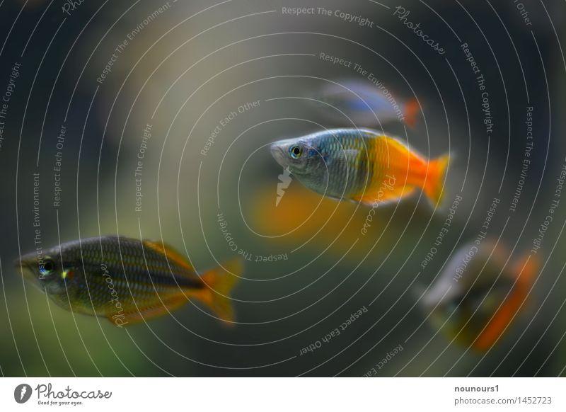 zierlich Tier Wildtier Fisch Schuppen Aquarium Tiergruppe Schwimmen & Baden Zusammensein natürlich Neugier grau orange Karpfen Vierauge Farbfoto Innenaufnahme