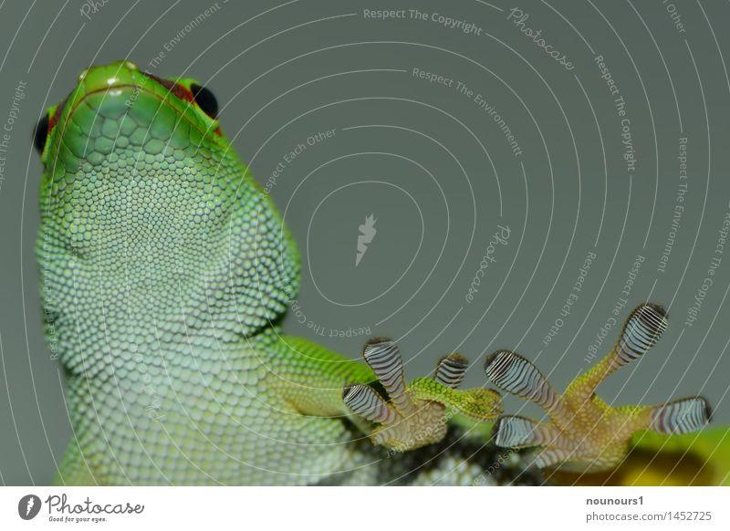 walk on glas Tier Tiergesicht Schuppen Krallen 1 Bewegung gehen Blick grün schwarz weiß Echsen geckoartig Gecko gekkonidae beobachten ruhen sauria Halbschlaf