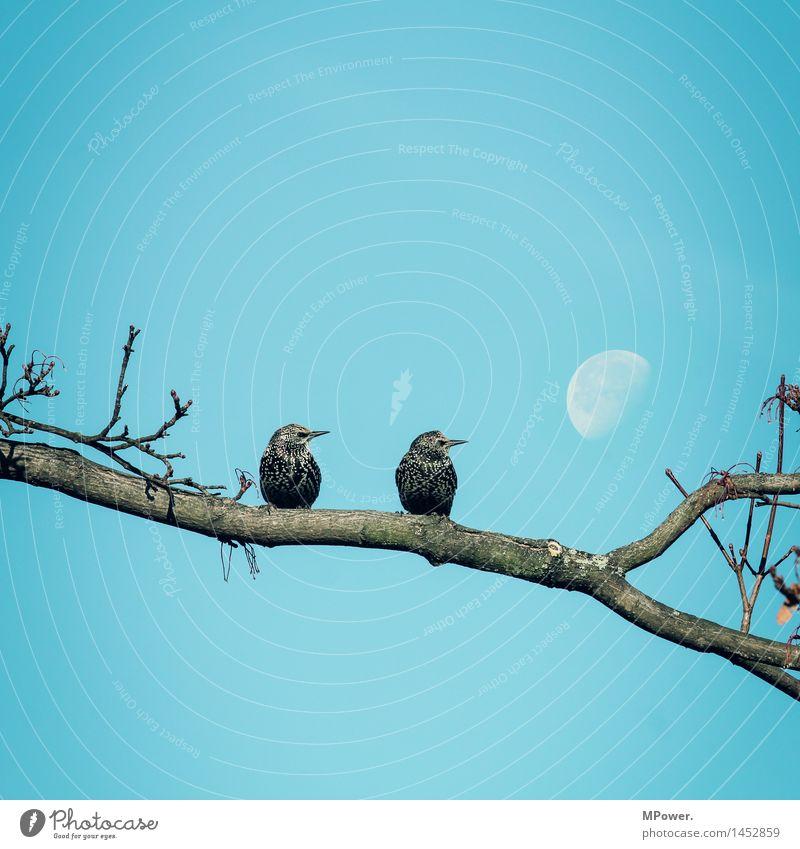 2 stare(n) zum mond Umwelt Wolkenloser Himmel Schönes Wetter hell Mond Vogel Star sitzen Romanik Ast Baum Blick Perspektive blau Paar Ehe Partnersuche