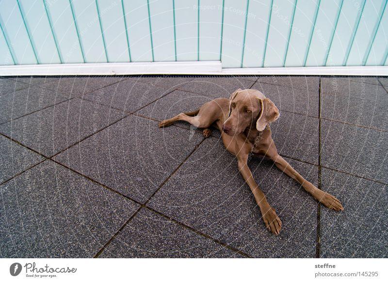 PLATZ! Hund Tier Platz niedlich Konzentration Wachsamkeit Säugetier Schnauze Tierliebe Streicheln Jagdhund Haushund Hundeblick Bellen