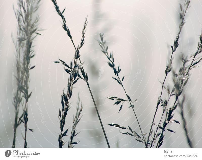 Romantica weiß blau Sommer ruhig Gras Nebel Romantik Halm durcheinander Dunst Ähren kreuzen gekreuzt