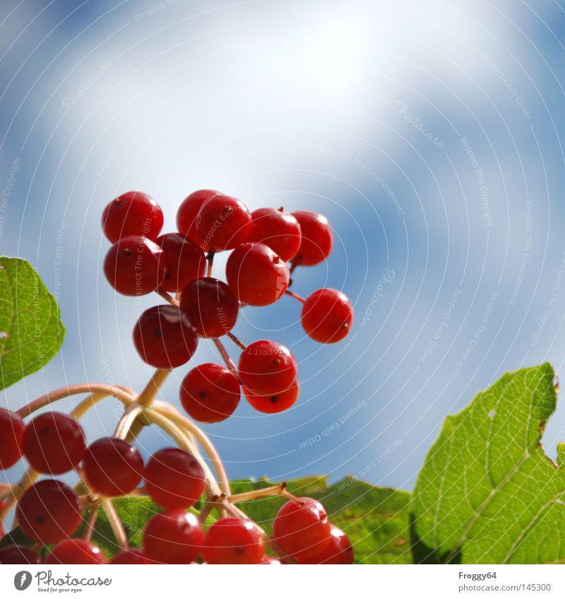 Beeren Himmel Baum grün blau Pflanze rot Sommer Wolken Ernährung Park Deutschland Lebensmittel Frucht Sträucher Stengel