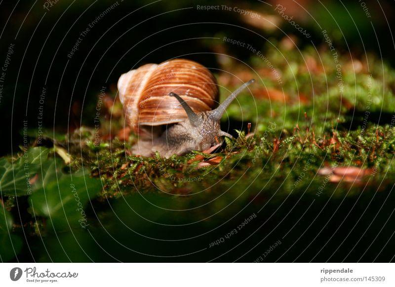 naturschönheit Natur Tier Moos Schnecke schleimig Umweltschutz Weinbergschnecken Waldtier Waldboden Schneckenhaus Fühler Feinschmecker bedrohte tierart