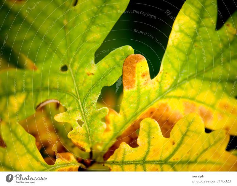 Farbenspiel Blatt Herbst Jahreszeiten Eiche Eichenblatt Blattadern Gefäße Färbung braun beige gelb verwandeln Herz-/Kreislauf-System Biomasse ökologisch Umwelt