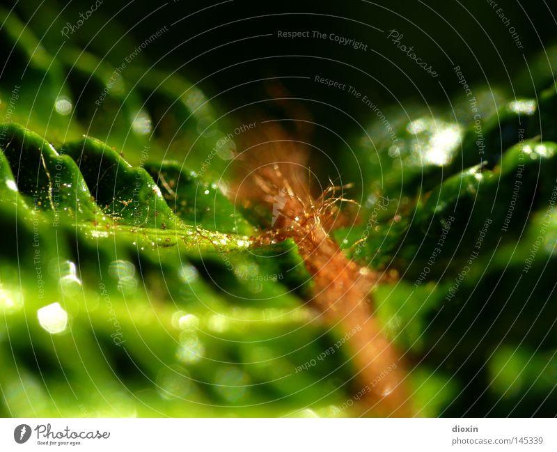farn en detail Echte Farne Pflanze Natur Makroaufnahme Nahaufnahme grün Detailaufnahme weltweit Schatten feucht Felsspalten Schlucht Bachufer Urwald