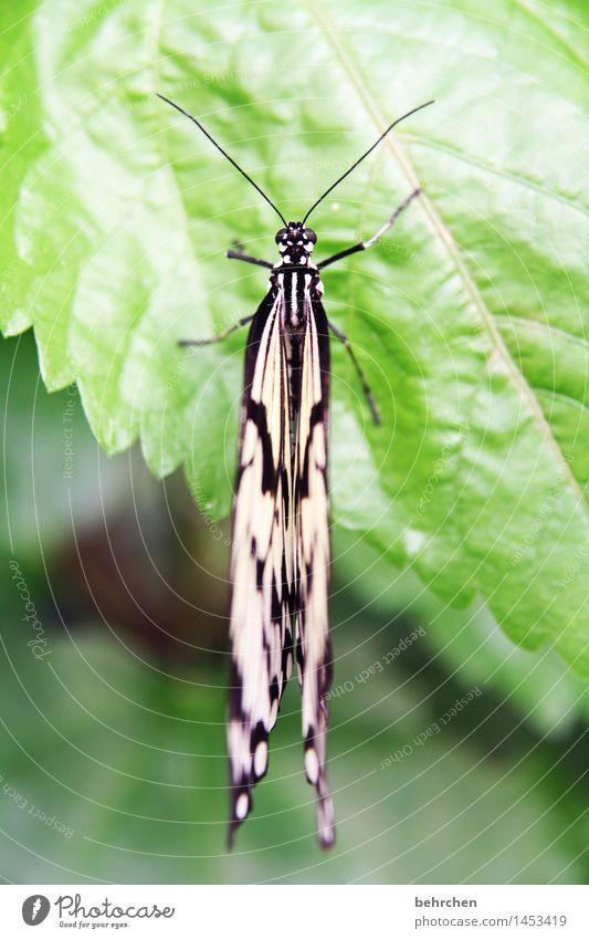 über den dingen stehen Natur Pflanze Tier Baum Sträucher Blatt Garten Park Wiese Wildtier Schmetterling Tiergesicht Flügel Weiße Baumnymphe 1 beobachten