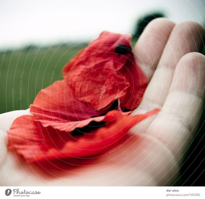 zartes leben Hand rot Mohnblatt leicht festhalten Leben Tod grün bleich Finger kalt Konzentration Außenaufnahme