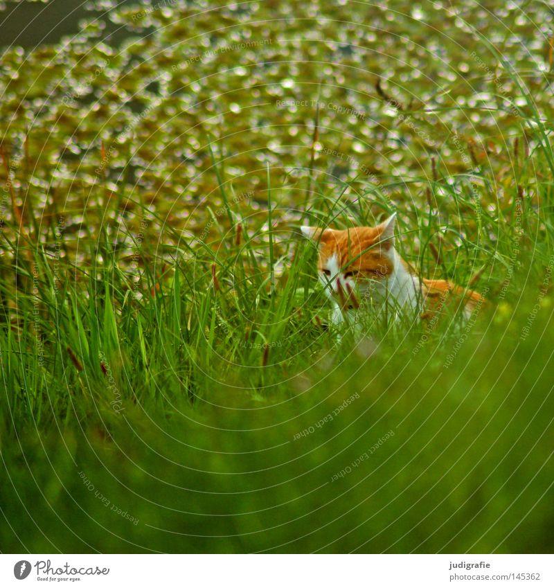 Katze im Gras Wiese Flussufer Elbe Elbaue Gewässer Leben Natur verstecken beobachten Jagd Haustier Hauskatze grün frisch Farbe Säugetier auf der lauer
