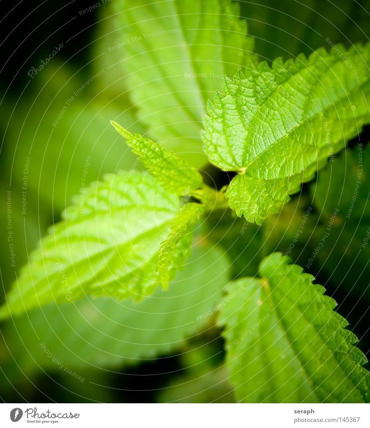 Urtica Brennnessel Pflanze grün brennen Gesundheit Unschärfe Heilpflanzen Umwelt Ethnologie Botanik Biologie ökologisch Reifezeit Wachstum Makroaufnahme