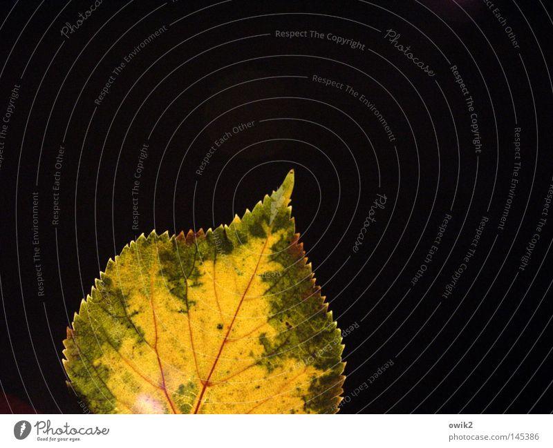 Herbstblatt Hand Finger Umwelt Natur Pflanze Blatt festhalten verblüht dehydrieren klein nah gelb grün Verfall Vergänglichkeit Laubbaum Linde Lindenblatt