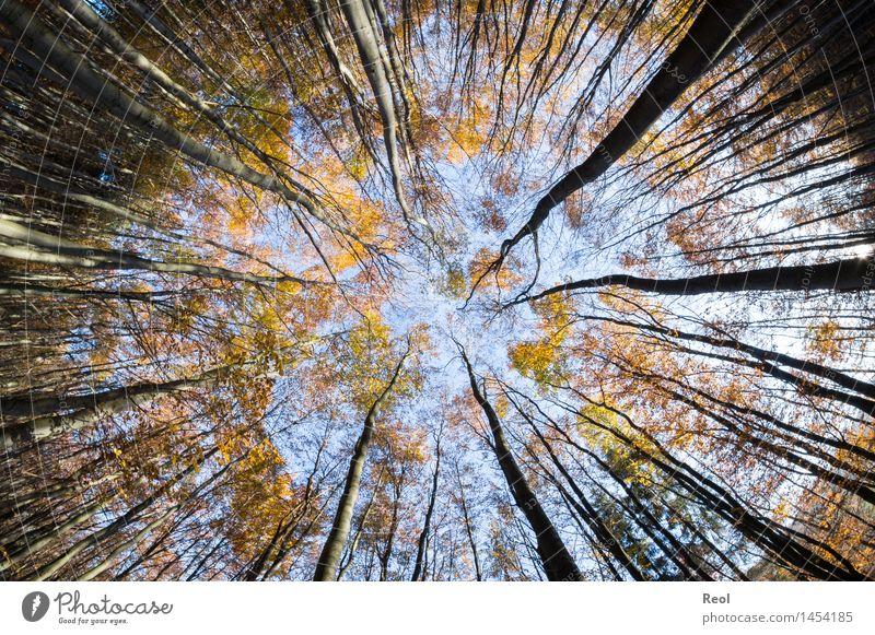 Zur Mitte Natur Landschaft Himmel Wolkenloser Himmel Herbst Schönes Wetter Pflanze Baum Blatt Wildpflanze Blätterdach Baumstamm Zweige u. Äste Ast Wald