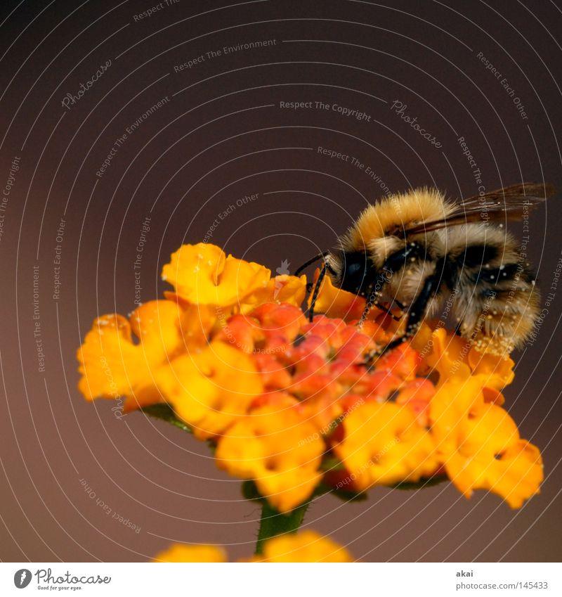 Last Bee 2008..........250! Blume Blüte Wandelröschen Biene bestäuben Pollen Honig Honigbiene Staubfäden gelb orange Flügel Makroaufnahme 5000 Nahaufnahme