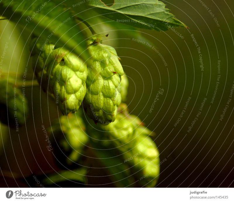 Bierchen? Natur grün Pflanze Umwelt Lebensmittel Wachstum Mischung Augenbraue Hopfen Kletterpflanzen Brauerei Grundstoff