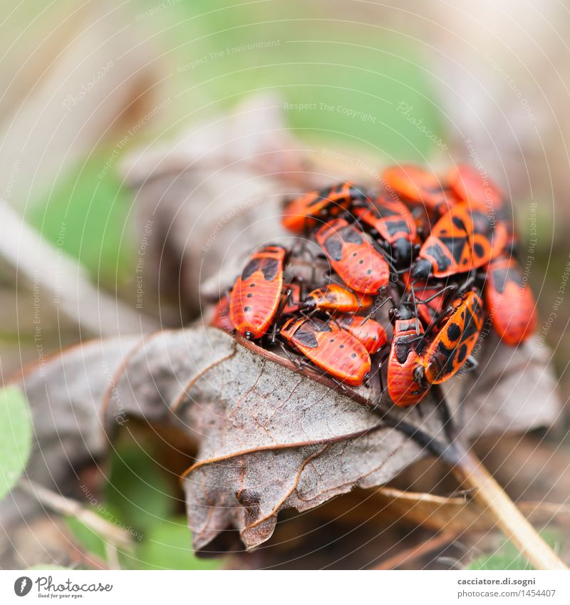 Feuerwanzen-Gruppensex-Party Umwelt Blatt Tier Wildtier Tiergruppe exotisch Zusammensein klein lustig braun grün rot Frühlingsgefühle Sicherheit Schutz
