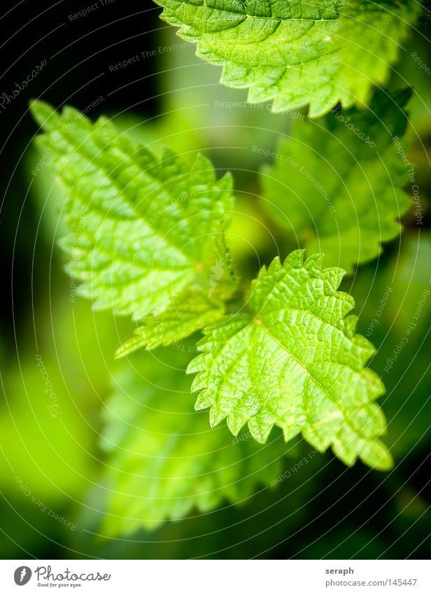 Brennnessel Pflanze grün brennen Gesundheit Blatt Unschärfe Heilpflanzen Umwelt dunkel schwarz Ethnobotanik Botanik Biologie ökologisch Reifezeit Wachstum Natur
