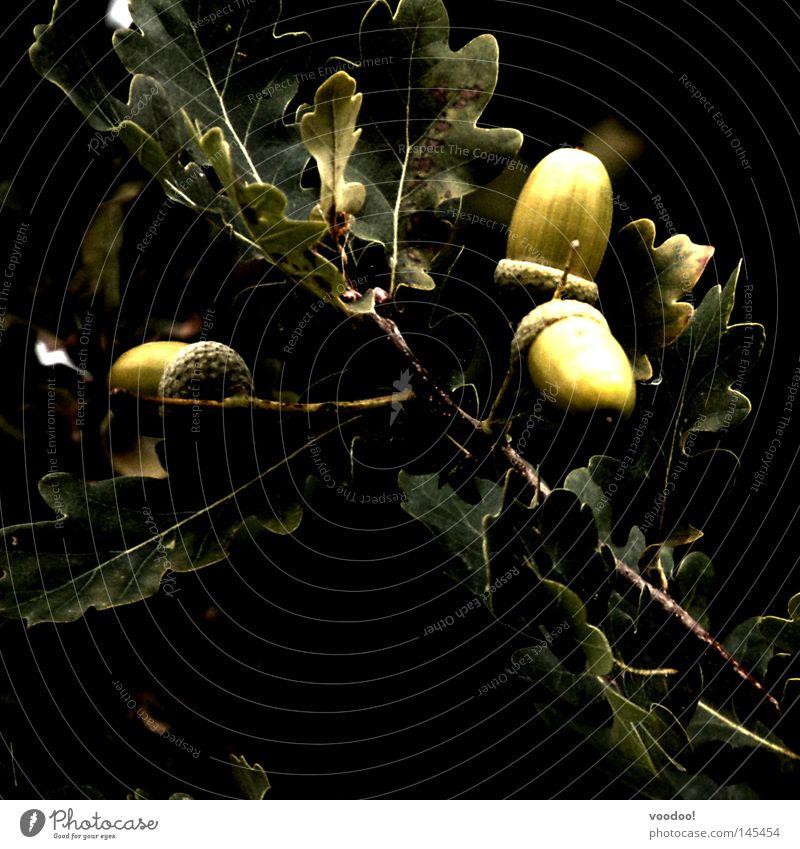 Deutsche Eiche (Beta-Version) Natur Baum Pflanze Blatt schwarz dunkel 3 Ast Wunsch Zweig Eicheln