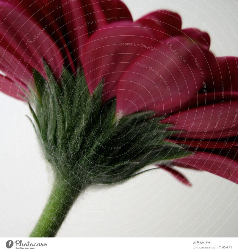 rot-grün Natur Pflanze Blume Blüte Frühling Wachstum Blühend Blütenblatt Gerbera