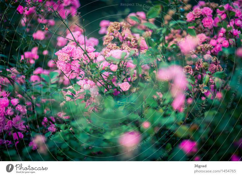 Rosenblüten Umwelt Natur Landschaft Pflanze Tier Blume Blatt Blüte Park natürlich schön grün rosa Duft Farbfoto mehrfarbig Außenaufnahme Starke Tiefenschärfe