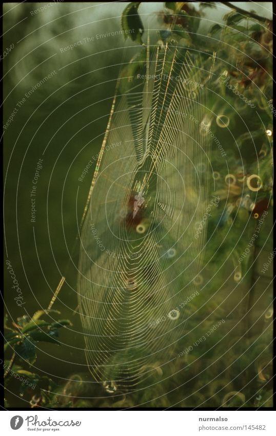 Spinne@Home Natur grün Tier Herbst Tod Stimmung glänzend Angst Fliege authentisch Wassertropfen Kreis Zeichen Tropfen Netz durcheinander