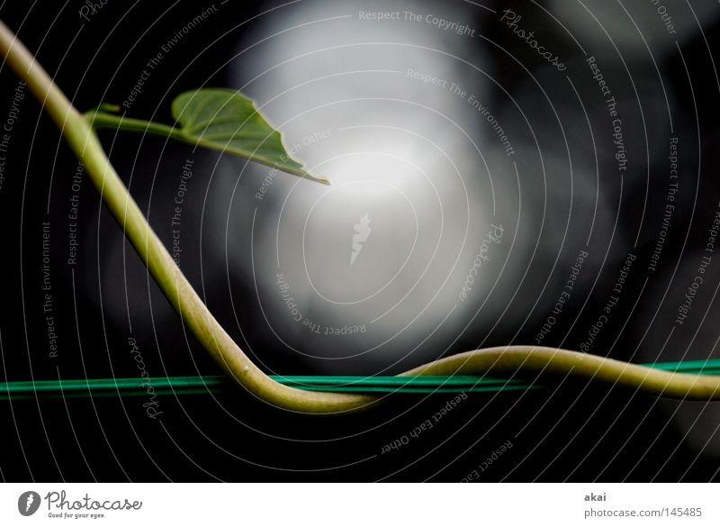 Prunkwinde....... Unterholz Pflanze Urwald Mittelamerika Wildnis grün Botanik Pflanzenteile Kletterpflanzen pflanzlich Umwelt Sträucher krumm Winde Frühling