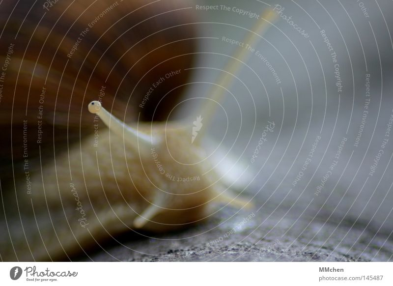 Gary Schneckenhaus Fühler entdecken Erkundung fossil Tier zurückziehen weich hart Weinbergschnecken Makroaufnahme Nahaufnahme Schneckenhäuschen Schädlinge