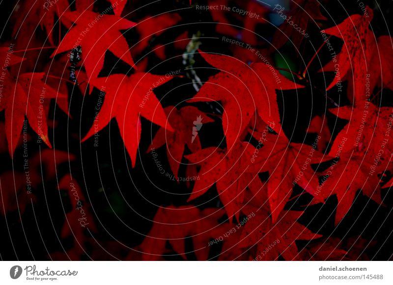 Herbst 2 Baum rot Blatt schwarz Hintergrundbild Vergänglichkeit Jahreszeiten Ahorn