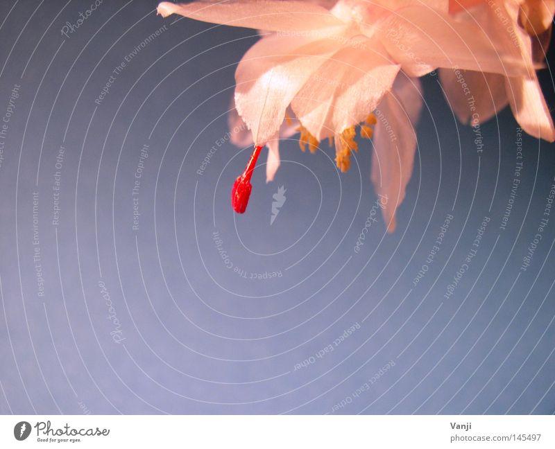 Lampenfieber Blüte glänzend Kaktus rot Stengel Pflanze zart Makroaufnahme Nahaufnahme Natur