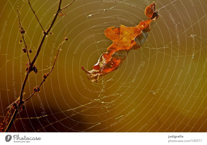 Herbstlich Blatt Eichenblatt Laubbaum Spinnennetz Geäst Zweige u. Äste Natur Umwelt schön Pflanze glänzend Farbe Netz herbstlich