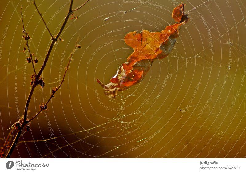 Herbstlich Natur schön Pflanze Blatt Farbe glänzend Umwelt Netz Geäst Spinnennetz Eiche Laubbaum Zweige u. Äste herbstlich Eichenblatt