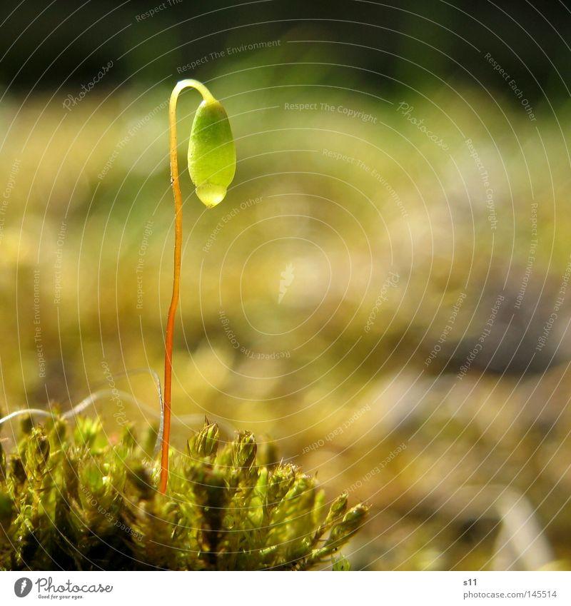 Ein Männlein steht im Walde.... Jungpflanze Herbst Baum stumm lau Physik Lampe klein Moosteppich Waldboden grün rot Unschärfe schimmern Makroaufnahme