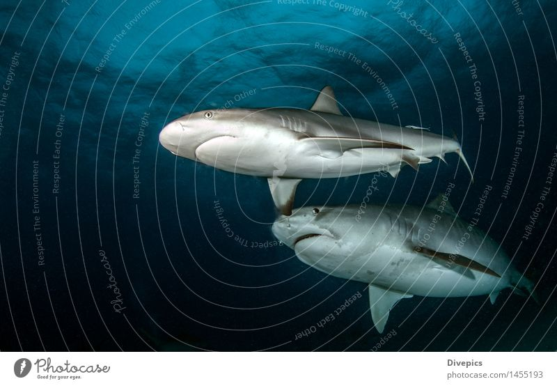 Tauchen mit Haien Natur blau Sommer Wasser Meer Tier Leben Sport gefährlich Fisch tief tauchen tropisch Korallen Bahamas